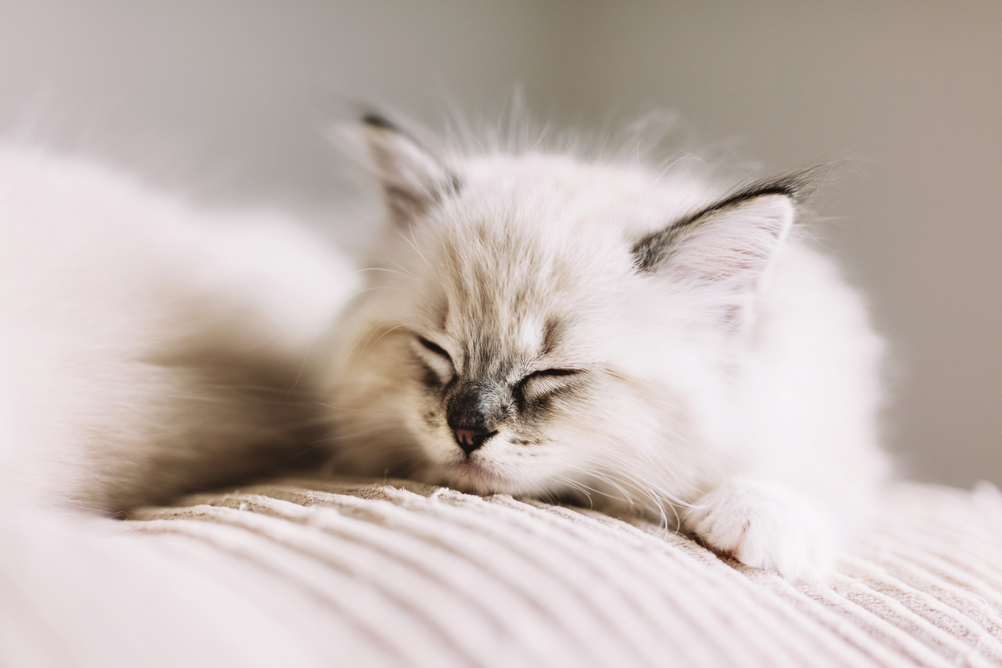 Ragdoll cat, small kitten sleep at home.